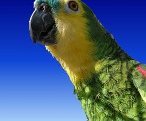 Illustration de l'article Un perroquet qui connaît son adresse, c'est futé !