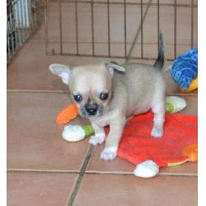 A DONNER femelle type chihuahua non lof
